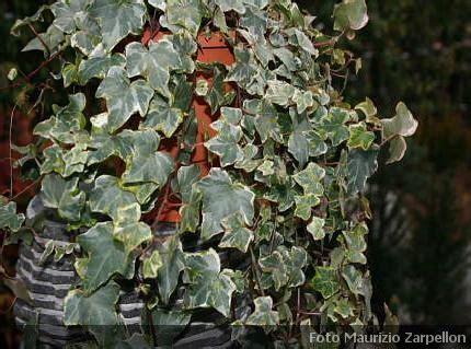 edera da appartamento hedera edera pianta da appartamento della famiglia