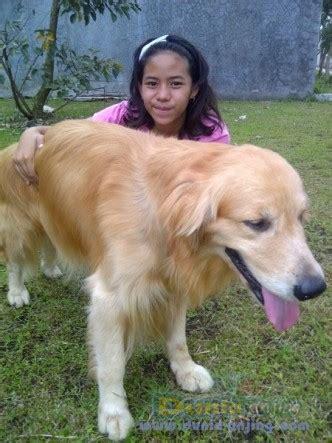golden retriever stud service dunia anjing pejantan anjing golden retriever stud service pejantan golden