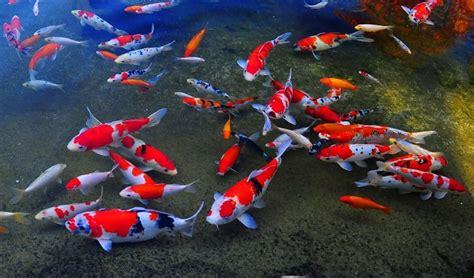 Makanan Ikan Hias Komet lokasi toko penjual ikan hias di jogja anotherorion