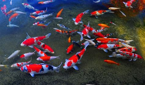 Pompa Aquarium Jogja lokasi toko penjual ikan hias di jogja anotherorion
