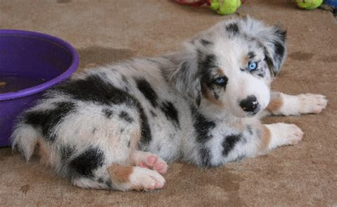 australian shepherd puppies wisconsin australian shepherd puppies chartsmaster