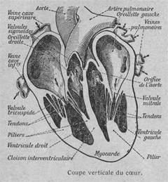 coupe verticale du c蜩ur humain anatomie