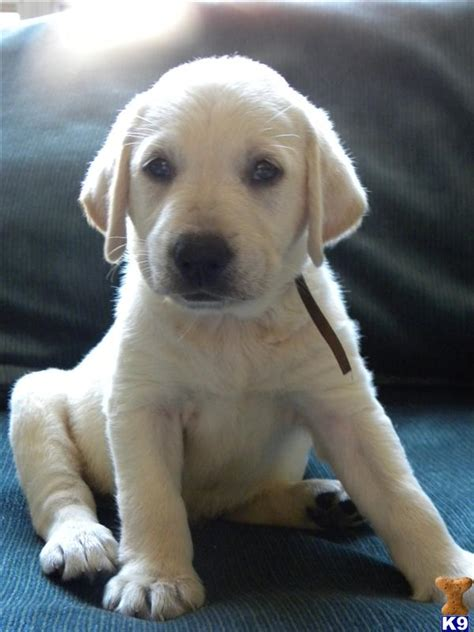 labrador puppies craigslist brownsville pets craigslist autos post