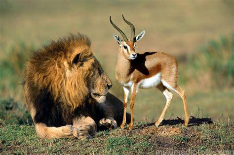 imagenes de leones y aguilas 191 eres un leon o una gacela youtube