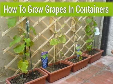 how to grow grapes in your backyard how to plant grapes in your backyard growing grapes in