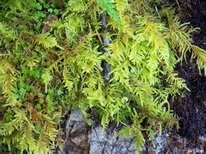 now a completely different type of plant moss name