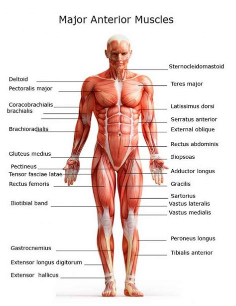 labelled muscular system diagram diagram of the muscles anatomy