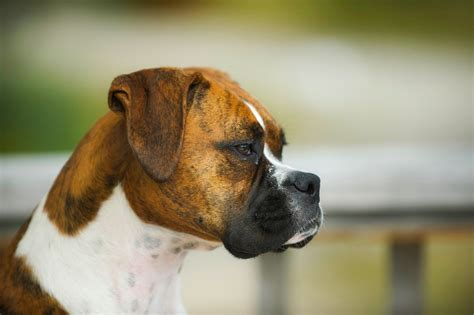 brindle breeds top 5 brindle breeds preview and pictures animal bliss