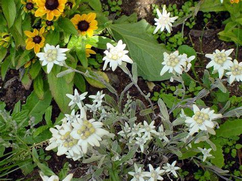 stelle alpine in vaso condividi la foto cherz stelle alpine in vaso dall album