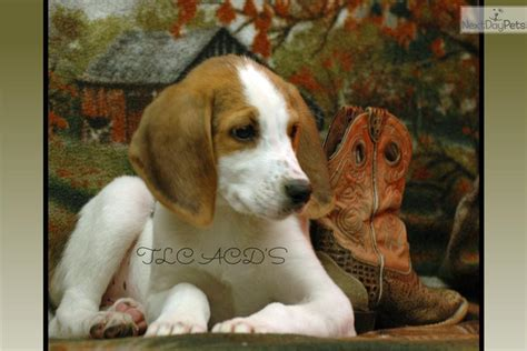 american foxhound puppies american foxhound puppies pc wallpaper breeds picture
