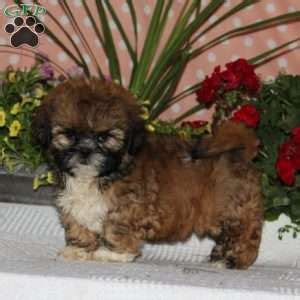 shih tzu puppies md shih tzu puppies for sale in de md ny nj philly dc and baltimore