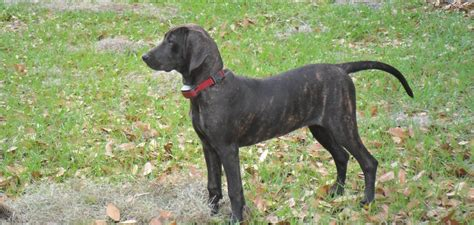 Coonhound Shedding by Plott Breeds Picture Breeds Picture