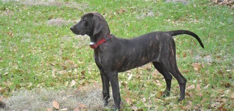 plott puppies plott hound breed standards