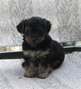 house trained dog house trained yorkipoo pups craigspets