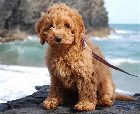 designer dogs designer dogs list of designer breeds info and