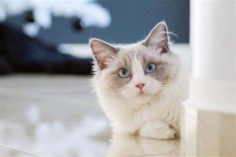 ragdoll information ragdoll cat photos breed information and care pethelpful