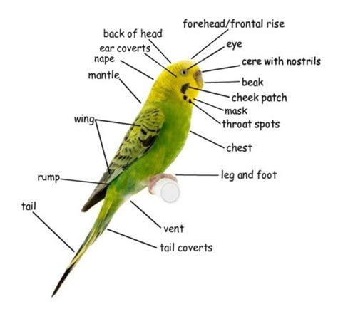 Anting Brown Triangle budgie parts