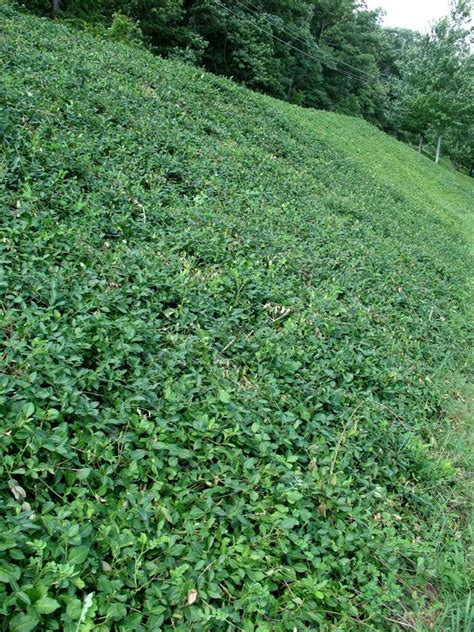 wintercreeper ground cover evergreen wintercreeper euonymus makes a great ground cover on this