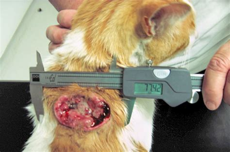 soft tissue sarcoma in dogs soft tissue sarcoma in dogs and cats