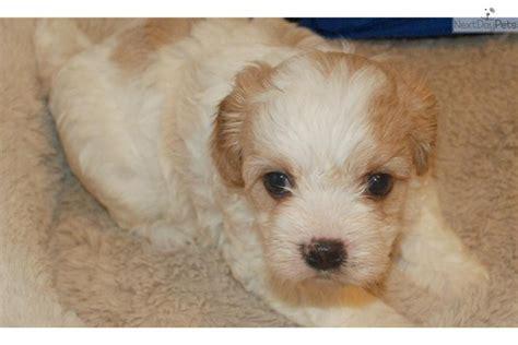 cavalier havanese meet cavanese a cavanese puppy for sale for 1 200 cavanese akc cavalier havanese