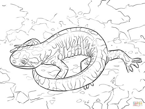 tiger salamander coloring page barred tiger salamander coloring page free printable