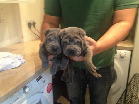 shar pei puppies for sale shar pei puppies for sale solihull west midlands pets4homes