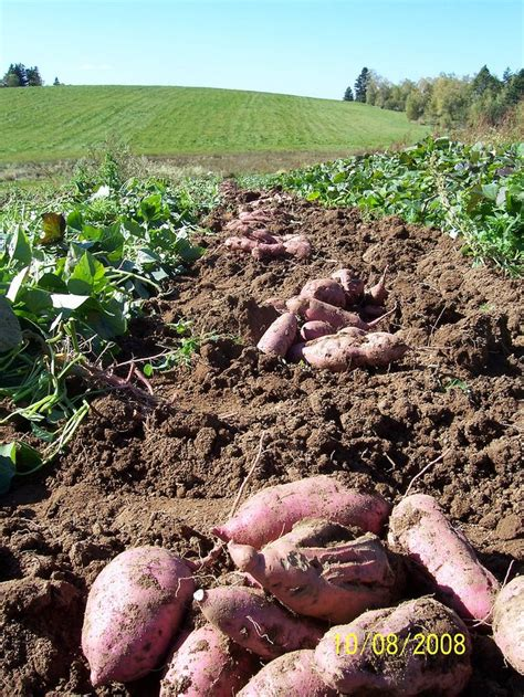 growing sweet potatoes garden 2014 pinterest