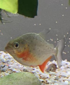 Piranha Imbalsamato Preso Posot Class