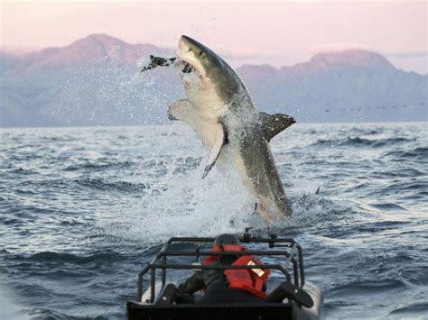 like a boat out of the blue jaws teeth and fins oh my shark week at 25 wwno