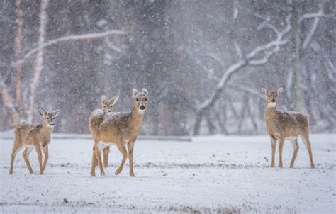 Snowing Deer wallpaper snowing wildlife deer winter family images