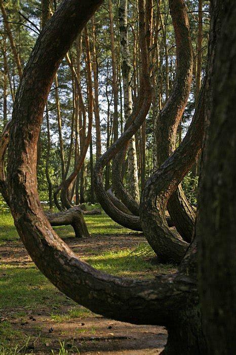 the crooked forest of gryfino poland загадочный 171 кривой лес 187 в польше world of art