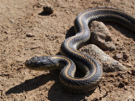 Garter Snake Get Rid Of How To Get Rid Of Snakes Remove These Pests In Your Home
