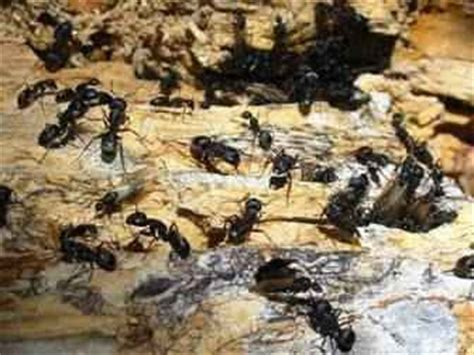 best way to get rid of ants in bathroom pest control diary best way to get rid of carpenter ants