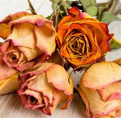 far seccare i fiori come far seccare i fiori in modo impeccabile leitv
