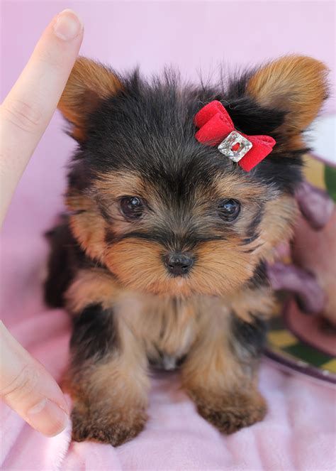 teacup yorkie puppies for sale yorkie puppies for sale south florida at teacups puppies