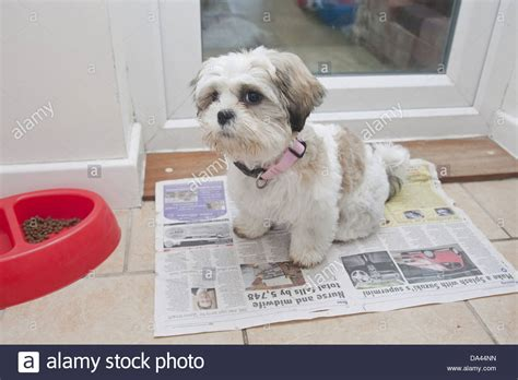 toilet a shih tzu puppy domestic shih tzu puppy toilet on newspaper beside stock photo