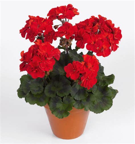 arven calliope мушкато съвети за отглеждане и много снимки цветна градина