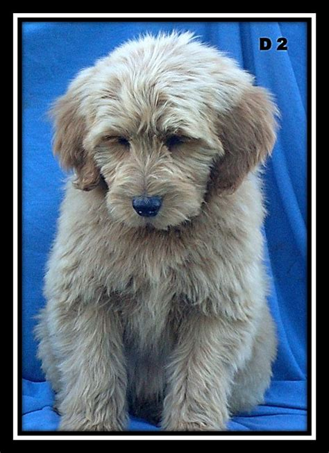 mini goldendoodles oklahoma 1000 images about goldendoodle on