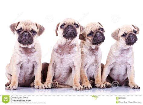 precious pugs four precious pug puppy dogs stock image image 26964331