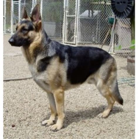 german shepherd rescue ohio kridler s german shepherds german shepherd breeder in lima ohio listing