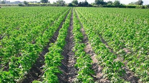 canapé italien natuzzi puglia via libera alla legge regionale sulla coltivazione
