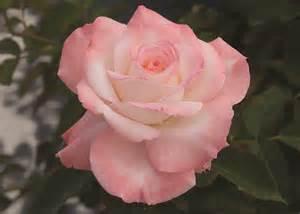 Blooming Tea Flowers - hybrid tea rose