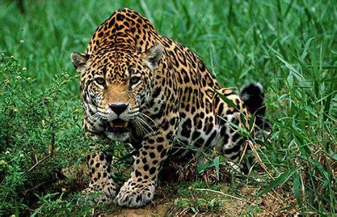 panthera onca jaguar