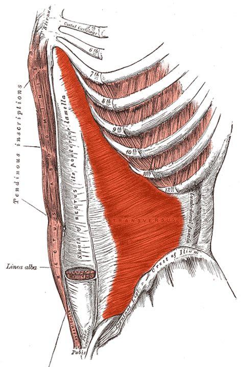 addominali obliqui interni ventre et abdos apr 232 s la grossesse le coin forme