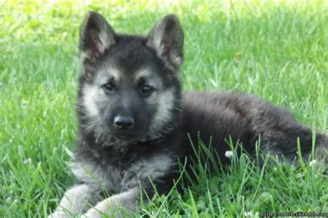 wolf shepherd puppies wolf hybrid puppies for sale and dogs for adoption from wolf hybrid breeds picture