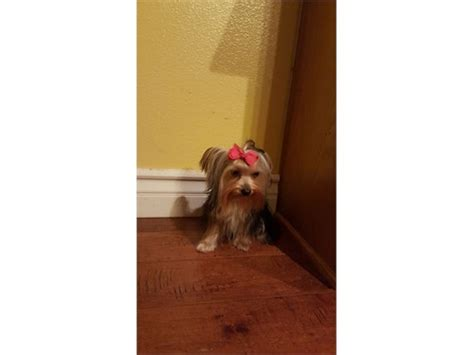 3 lb yorkie akc 3 pound yorkie pets country ca recycler