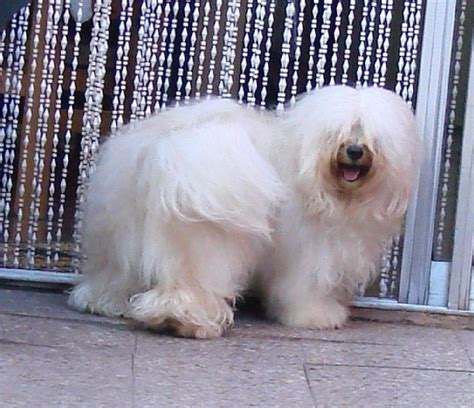 westminster havanese 120 best images about havanese hugs on westminster show abyssinian