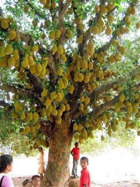 why are many fruit plants trees 25 best ideas about jackfruit tree on