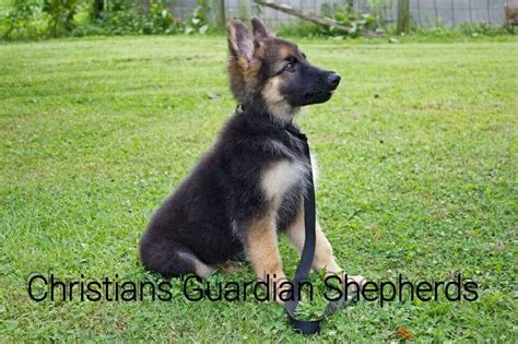 plush coat german shepherd puppies for sale 69 best images about german shepherds at christians guardian shepherds on