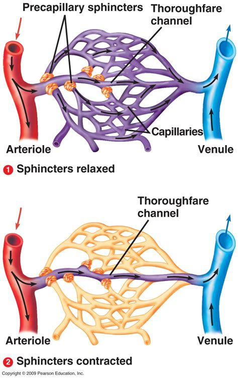 capillary beds anatomy of blood vessels cardiovascular blood vessels